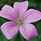 Pink geranium by ScoobyMoo