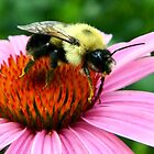 ~ Bumble Bee On A Cone Flower ~ by Brion Marcum