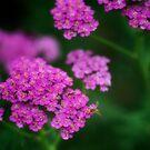 Pink Yarrow by KellyHeaton