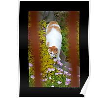 Felis Catus - White And Orange Domestic Stray Cat In A Hidden Garden - Middle Island, New York Poster