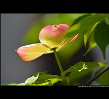 Cornus - Yellow And Pink Dogwood Tree Flower - Upper Brookville, New York  by © Sophie Smith