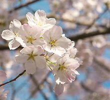 cherry blossoms by Janice Squires
