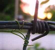 Barbed Wire &Vine At Sundown by caseygatlin