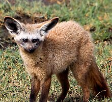 Bat Eared Fox  -  Otocyon megalotis -  Lake Nadutu Southern Serengeti Tanzania by john  Lenagan