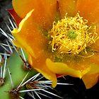 cactus blossom  by Tim Horton
