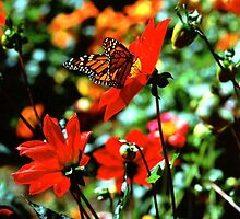 Monarch Butterfly Full Frame by Diana Graves Photography