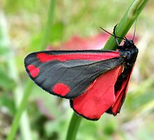 Cinnabar moth - Tyria jacobaeae by Lepidoptera