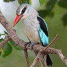 Woodland kingfisher profile by jozi1