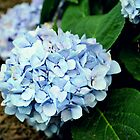 Beautiful Blue Hydrangea's by Scott Mitchell