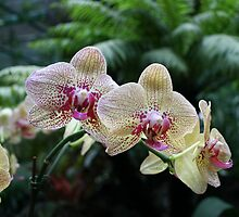 Cymbidium Branch by Robyn Selem