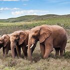 Elephant Sequence by Fiona Ayerst
