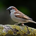 Male house sparrow by Peter Wiggerman