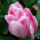 Two Tone Pink Tulip by LoneAngel