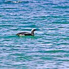 Black-throated Diver by VoluntaryRanger