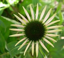 Echinacea slowly growing by QCPhil