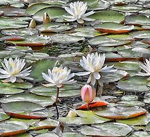 Pond Lilies by T.J. Martin