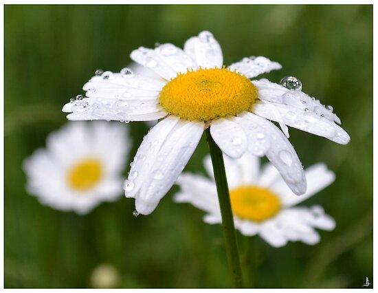 Daisy by jankolas