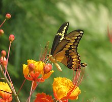 Giant Swallowtail Butterfly on Red Bird of Paradise Bloom by Ingasi