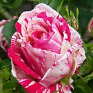 The Rose .. Hanky Panky by LoneAngel