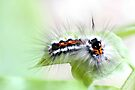 A lot of hair for such a tiny caterpillar by missmoneypenny