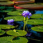Cup and Saucer Waterlilies © by GardenJoy