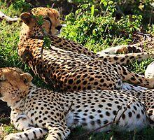 Cheetah - Masai Mara - Kenya by aidan  moran