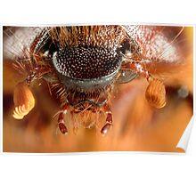 Christmas Beetle (Anoplognathus noideaus) Poster