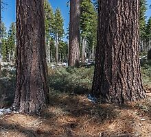 Exploring the woods - Lake Tahoe by Richard Thelen