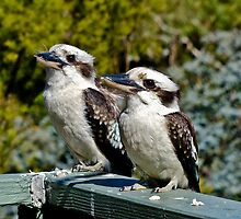 Kookaburra Duo by Tom Newman