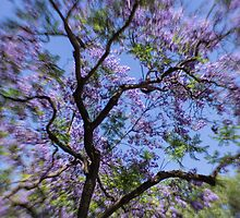Jacaranda dreams by Celeste Mookherjee