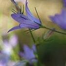 Spreading Bellflower by marens
