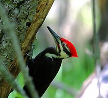 PILEATED WOODPECKER by Larry Trupp