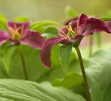 Mature Trillium Up Close by Wolf Read
