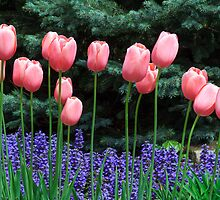 Pink Tulips and Ajuga Flowers by Kenneth Keifer