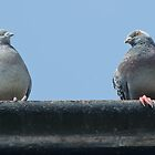 Pigeons with attitude by Kelly Eaton