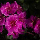 Silky Pink Cactus Blooms by Georgia Mizuleva