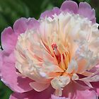 Pink Peony by Joy Fitzhorn