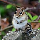 Cute Chipmunk by SmilinEyes