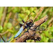 Male Chaser Dragonfly Photographic Print