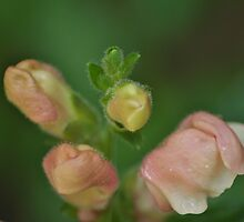 Small pink flower buds by Kelly Eaton