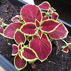 Magical Coleus by BlueMoonRose