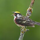 Chestnut-sided Warbler Belting It Out. by Daniel Cadieux