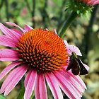 ~ Cone Flower With A Visitor ~ by Brion Marcum