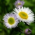 White Fleabane Daisy Flowers by SmilinEyes