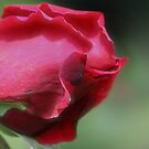 Red Rosebud Petals Close Up by SmilinEyes