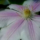 White Clematis Flower Up Close by SmilinEyes