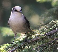 Gray-Winged Visitor by Wolf Read