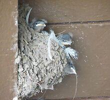 Baby Barn Swallow Beaks by Ingasi