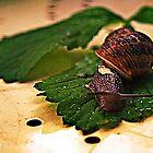Snail 1 by gazzman1
