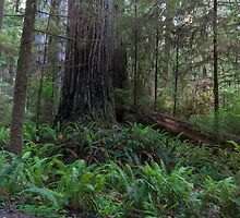 Exploring Jedediah Smith Redwoods III by Richard Thelen